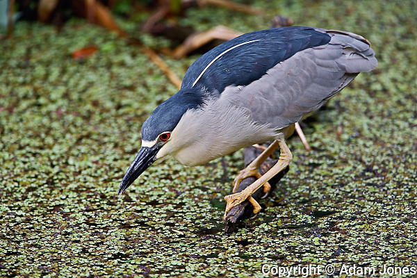 Black-crowned Night Heron fishing, Nycticorax nycticorax, Corkscrew Swamp Sanctuary, near Naples, FL.