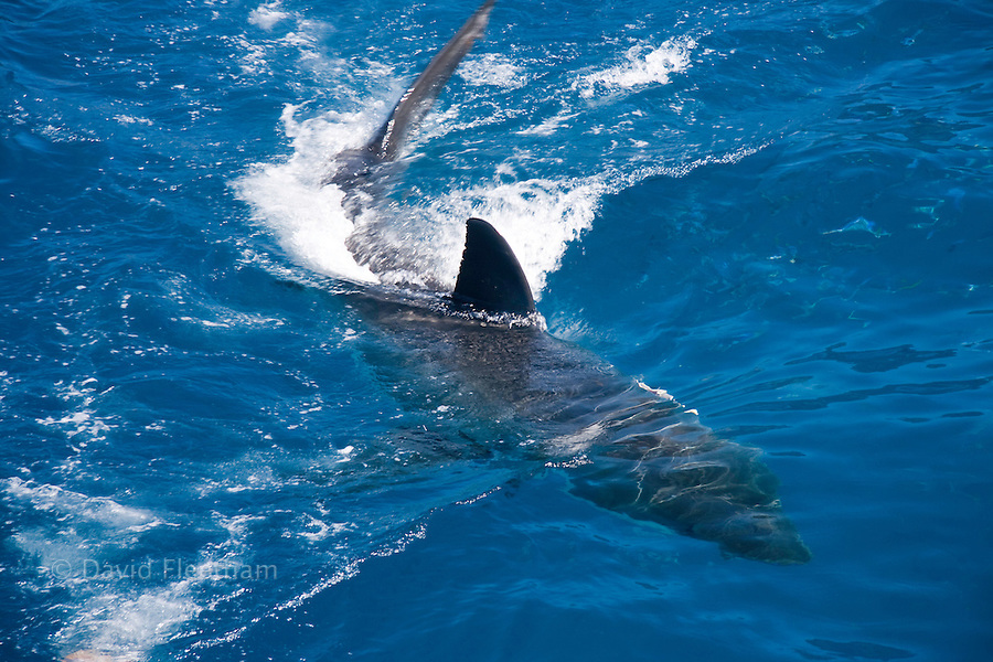 A great white shark, Carcharodon carcharias, breaking the surface off Guadalupe Island, Mexico.