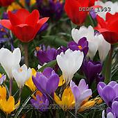 Gisela, FLOWERS, BLUMEN, FLORES, photos+++++,DTGK1993,#f#