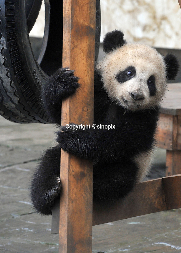 A six month old panda born from mothers evacuated from Wolong Panda base in Sichuan after the devasting earthquake in 2008, plays on a swing at the panda  kindergarten at Bi Fengxia Panda Research Base in the mountains of Sichuan, China.  Thirteen pandas in total were born from evacuated mothers were evacuated.