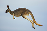 Australia,  NSW, Sturt National Park; red kangaroo (Macropus rufus) hopping at dawn; the red kangaroo population increased dramatically after the recent rains in the previous 3 years following 8 years of drought