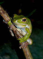 White-lipped Tree frogs are green with a pure white lower lip. When the males are ready to mate, the gold stripe on their thighs flushes red. The best places to see the White-Lipped Tree frog (Litoria infrafrenata) are paperbark (melaleuca) swamps and in leafy suburbs. They frequent houses and especially drainpipes and their call sounds like a dog barking.