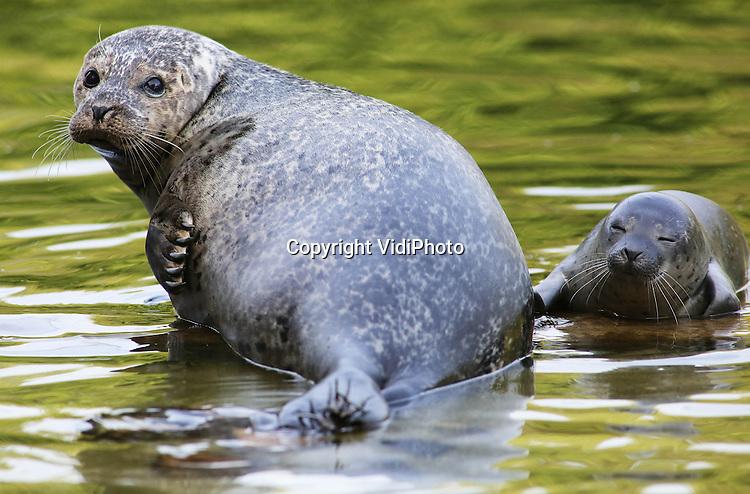 Foto: VidiPhoto<br /> <br /> RHENEN - Op &quot;Het Wad&quot; in Ouwehands Dierenpark in Rhenen is vrijdag voor het eerst in twaalf jaar een jong zeehondje geboren. Dat heeft het park maandag bekend gemaakt. De geboorte is enkele dagen stil gehouden om te zien of het diertje de eerste kritieke dagen wel door zou komen. Inmiddels krijgt het al van moeder Dinky zwemles en drinkt het goed. Er worden maar zelden zeehondjes geboren in een dierentuin. Ouwehands heeft met nu negen stuks de grootste groep.