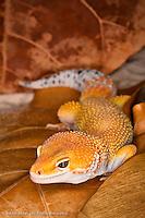 Leopard Gecko morph, Eublepharis macularis, Pakistan