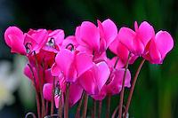 Flor Ciclame ( Cyclamen persicum). SP. Foto de Juca Martins.