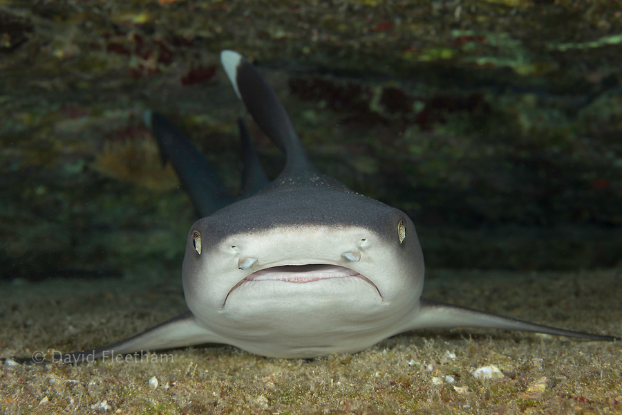 Whitetip reef sharks, Triaenodon obesus, are one of the few species of sharks that can stop and rest on the bottom, Hawaii.