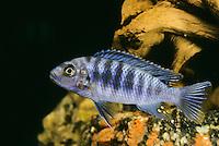 Blauer Malawibuntbarsch, Maylandia zebra, Pseudotropheus zebra, Metriaclima zebra, zebra mbuna, Mbuna, M'buna, Buntbarsche, Cichlidae, Malawisee-Buntbarsche, Malawi-Buntbarsche, Malawisee-Buntbarsch, Malawi-Buntbarsch