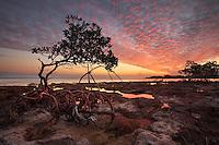 Red Mangrove, Rhizophora mangle, Florida Keys