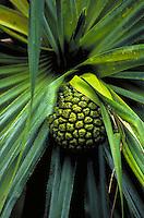Hala plant
