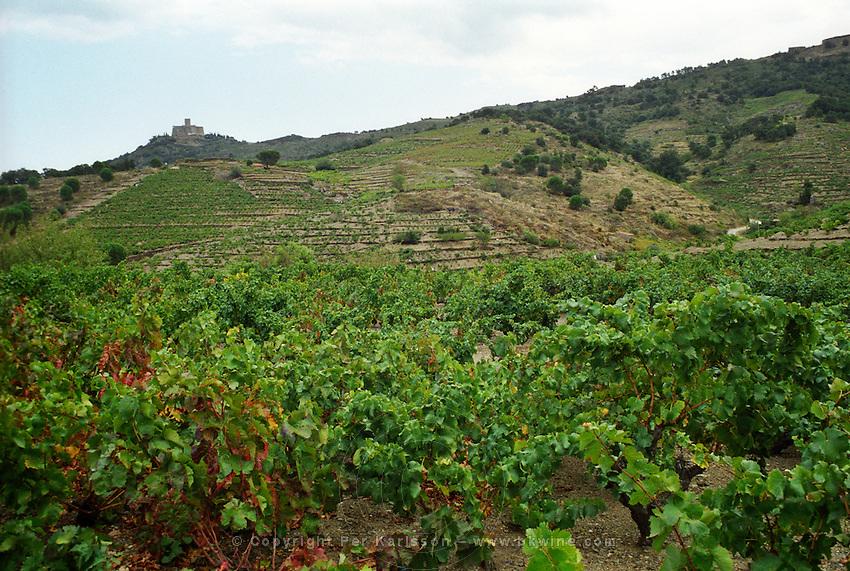 Collioure. Roussillon. France. Europe. Vineyard.
