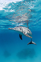 RZ0660-D. Spinner Dolphin (Stenella longirostris), wide ranging tropical species with long thin beak, capable of amazing spinning leaps high out of water, grows to over 7 feet long and nearly 200 pounds, feeds primarily at night on squid and fish. Egypt, Red Sea.<br /> Photo Copyright &copy; Brandon Cole. All rights reserved worldwide.  www.brandoncole.com