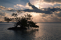 Mangrove Tree at Sunrise, Florida Keys, FL, America, USA.