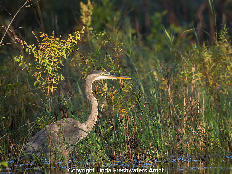 Great blue heron - juvenile
