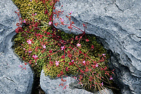 Herb Robert wildflowers in Karst limestone. The Burren, County Clare, Ireland