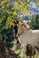 Oesterreich, Kaernten, Moelltal bei Grosskirchheim: Ziegen | Austria, Carinthia, Valley Moelltal near Grosskirchheim: goats