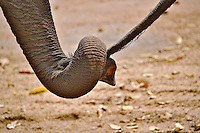 Asian Elephant holding tail of another Asian Elephant, Thai Elephant Conservation Center, Lampang, Thailand. (Elephas maximus)