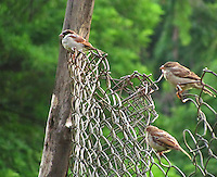 House-sparrows group sitting on iron fence.
