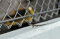 Nov. 14, 2008; Homestead, FL, USA; A gecko sits on the catch fence as NASCAR Craftsman Truck Series drivers race by during the Ford 200 at Homestead Miami Speedway. Mandatory Credit: Mark J. Rebilas-