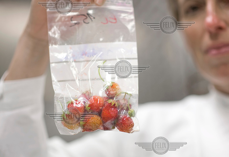 At the Federal Institute for Risk Assessment in Berlin, a scientist holds a bag containing strawberries which are suspected to contain bacterial strains of Escherichia coli O104:H4, a rare enterohemorrhagic strain of E. coli which has caused the recent outbreak of illness in Germany, so far killing 35 people.