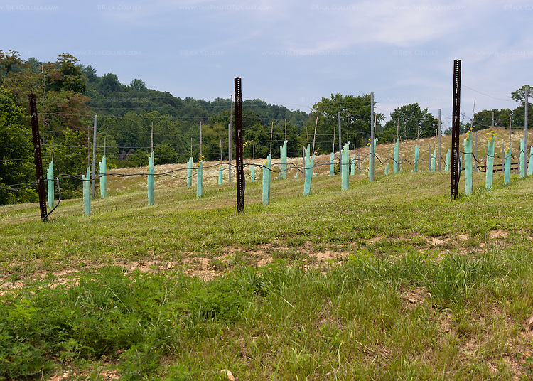 A new vineyard has been planted on the hill above the winery building at Desert Rose Ranch and Winery.