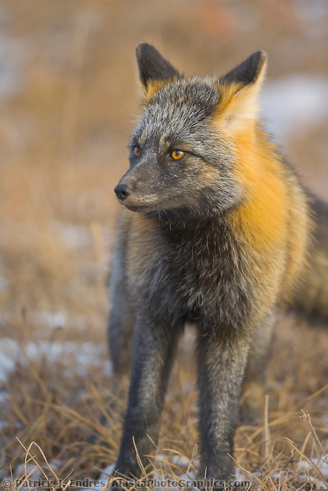 Cross Fox hunts for rodents on the autumn tundra of Alaska arctic north slope, Brooks Range, Alaska