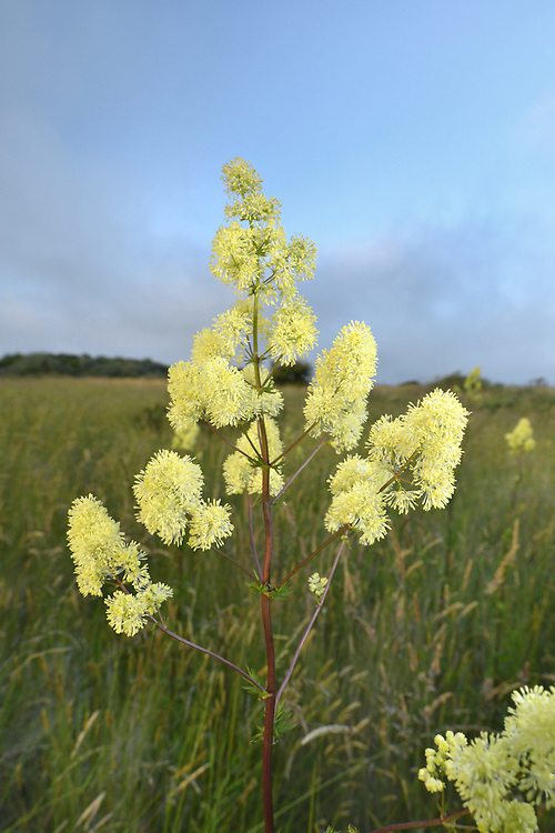 Common Meadow-rue - Thalictrum flavum