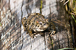 boreal toad, Bufo boreas boreas, on log in Spruce Lake, Rocky Mountain National Park, Colorado, USA