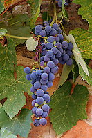 Lush grapes ready for harvest, Montalcino, Italy