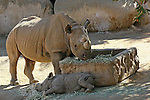 IMAGES OF SAN DIEGO, CALIFORNIA, USA, WILD ANIMAL PARK Hippopotamus, Hippopotamus amphibious; Also Called: Hippo<br />