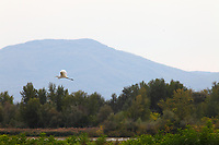 Near Lugnano in Teverina, in the WWF oasis of Alviano, that makes part of a meander of the Tiber river, one can see a number of beautiful birds in the fall. Here a great white heron that is flying on the background of the mountains. Digitally Improved Photo.