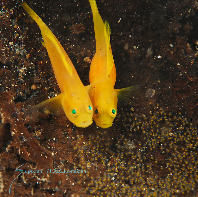 Golden Gobies with Eggs, Lubicogobius ornatus, Lembeh Straits; Sulawesi Sea; Indonesia; Amazing Underwater Photography