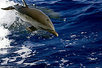 pantropical spotted dolphin, Stenella attenuata, juvenile leaping in boat wake, Kona, Big Island, Hawaii, Pacific Ocean