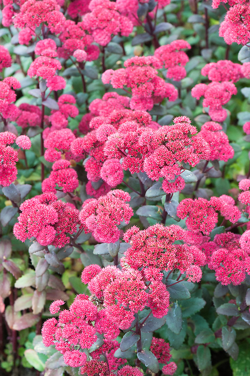 Sedum 'Red Cauli', late September. Dense red flower heads from late August to September, with purple-grey foliage on dark stems.