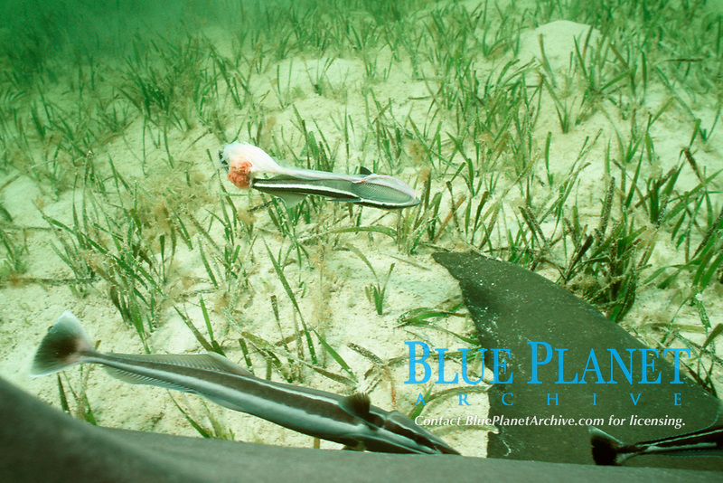 remoras feed on afterbirth of lemon shark, Negaprion brevirostris, while mother rests on bottom between live births of pups, Bimini, Bahamas, Caribbean Sea, Atlantic Ocean
