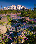 Mount St Helens National Monument, WA<br /> Morning light on dwarf lupine and Cardwell's penstemon in the alpine meadows of Lahar with with distant snow capped Mount St Helens