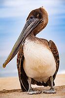Brown Pelican (Pelecanus accidentalis), juvenile