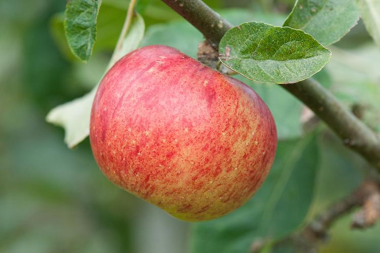 Apple 'Merton Joy', mid September. An English dessert apple bred in 1946 at the John Innes Institute in Merton, London. It was not named until 1965.