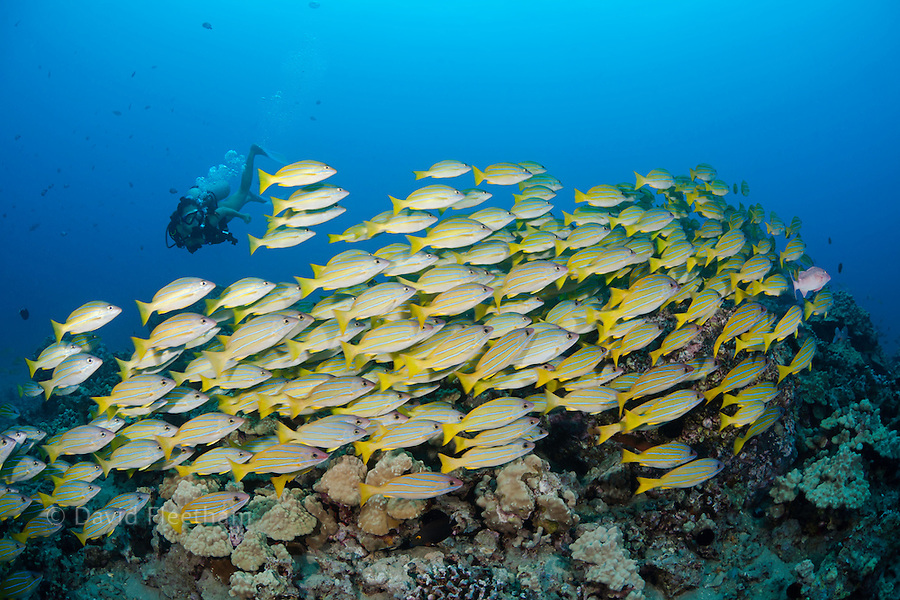 Diver (MR) and schooling bluestripe snapper, Lutjanus kasmira,  Hawaii.