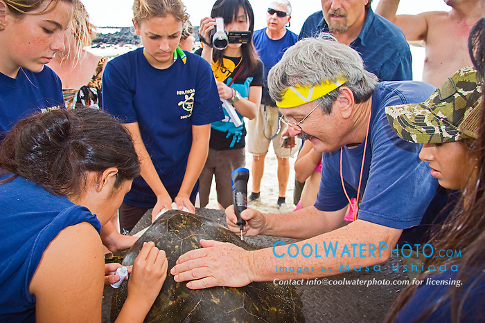 Researcher George Balazs PhD, inscribing a number with an electric drill on the carapace (turtle shell) of a Green Sea Turtle, Chelonia mydas, Marine Turtle Research, organized by NOAA National Marine Fisheries Service (NMFS), Hawaii Preparatory Academy (HPA) students and teachers (NOAA/HPA Marine Turtle Program), and ReefTeach volunteers at Kaloko-Honokohau National Historical Park, Kona Coast, Big Island, Hawaii, Pacific Ocean.