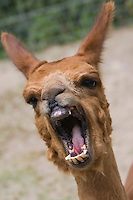 An angry-looking Alpaca shows its teeth, taken July 2008.