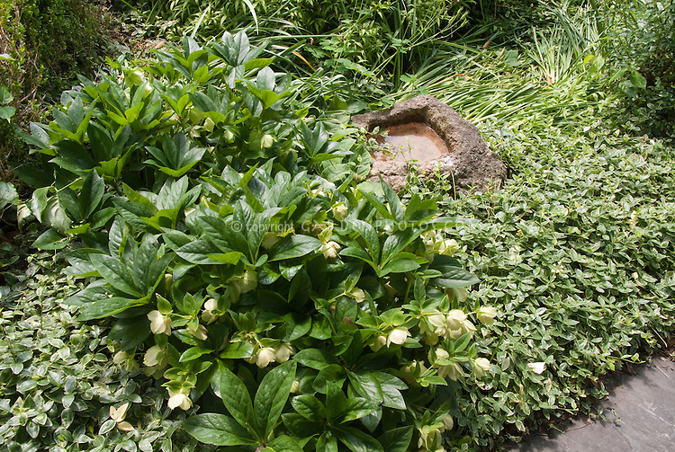 Shade garden of hellebores, variegated Vinca minor Argentovariegata, small stone water feature pond, daffodil foliage, columbine leaves for  a serene green oasis