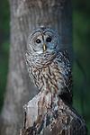 USA, Seattle, Washington, barred owl (Strix varia)