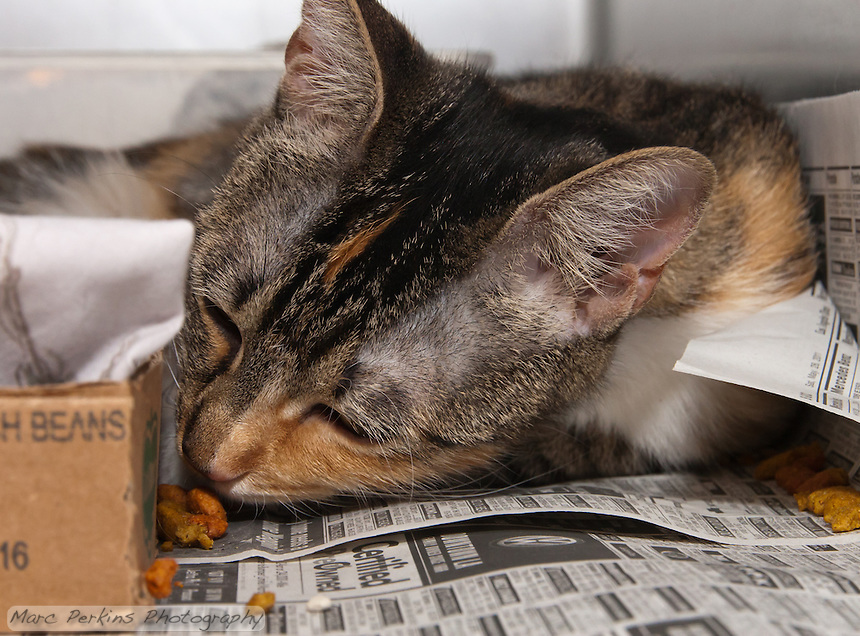 Athena, a torbie and white (or caliby) female domestic shorthair cat.  7084.