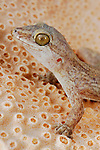 Leaf-toed Gecko head (Haemodracon trachyrhinus), endemic to Socotra, Yemen.