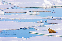 Lone male walrus, Odobenus rosmarus, on sea ice, Franz Josef Land, Russian Arctic
