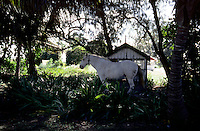 White horse hobbled in the shade of palm trees. Nuku'lofa Tonga, South Pacific.