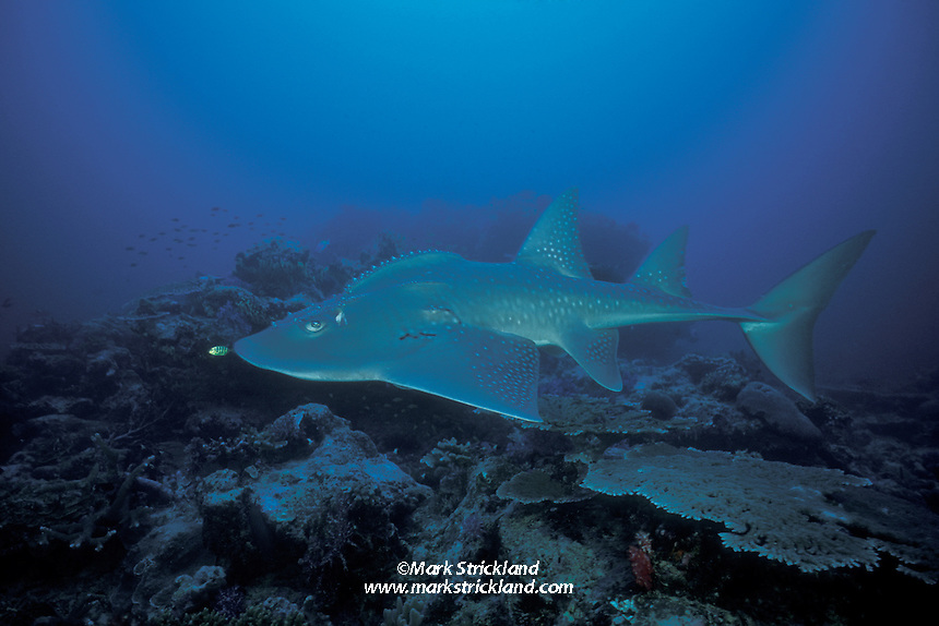 The bizarre, ancient-looking Bowmouth Guitarfish, Rhina anclystoma, shares characteristics of both sharks and rays, with the streamlined body, tall fins and powerful tail of the former, as well as the ventrally-located mouth and gill openings of the latter. Similan Islands Marine National Park, Thailand, Andaman Sea