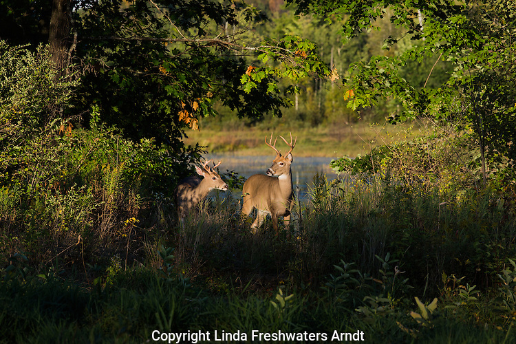 Two young white-tailed bucks