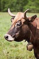 Europe/France/Midi-Pyrénées/12/Aveyron/Aubrac/Laguiole: Vache Aubarc, Elevage Race Aubrac d' Alain Dijols ferme de Lacaune près de Laguiole