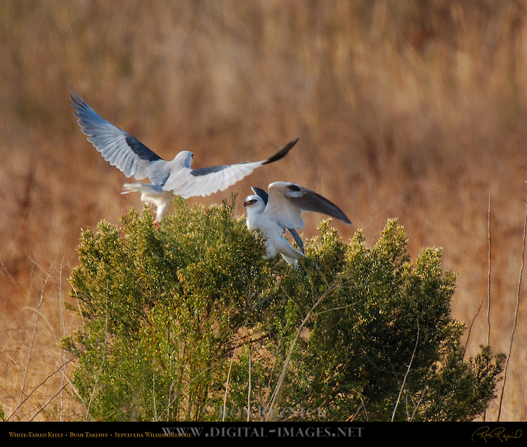 White-Tailed Kites, Bush Confrontation, Sepulveda Wildlife Refuge, Southern California